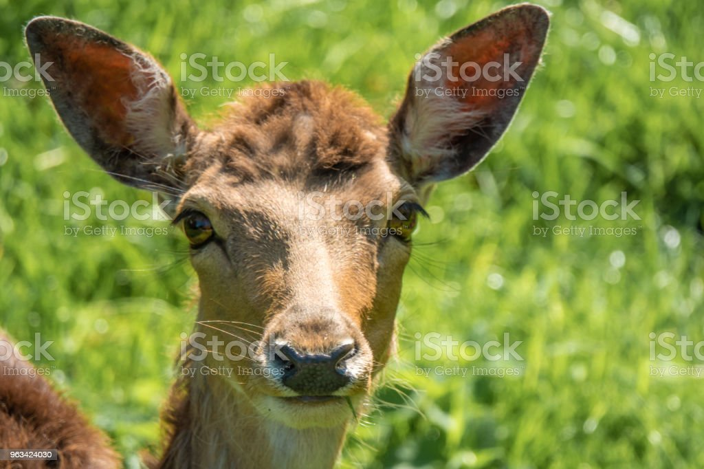 Closeup of a deer cub in the gardens of the Rapperswil castle, on the shores of the Upper Zurich Lake (Obersee), Switzerland - Zbiór zdjęć royalty-free (Cielę)