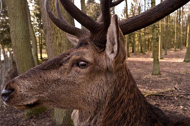 Closeup of a Deer stock photo
