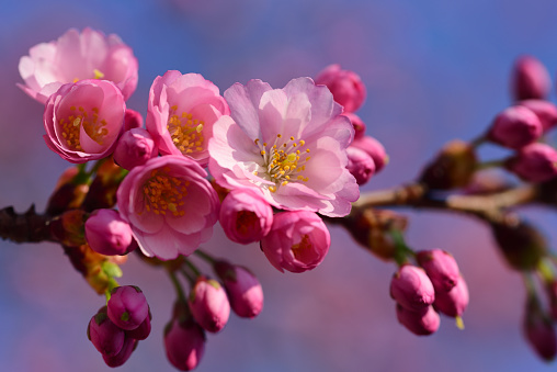Close-up of a delicate cherry blossom branch with pink flowers against a pink and blue background with space for text, in spring nature