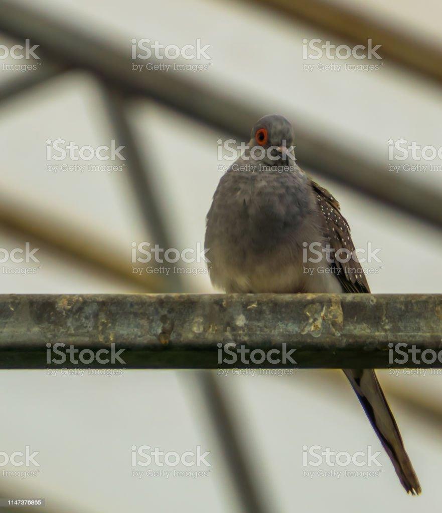 closeup of a diamond dove sitting in the aviary, small tropical bird...