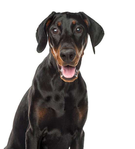 Closeup of a doberman pinscher puppy panting 6 months old isolated on picture id823786964?b=1&k=6&m=823786964&s=612x612&w=0&h=gantkpspfb4i pxl9zpyea4jbp3qpwzlv1wtzmikz c=