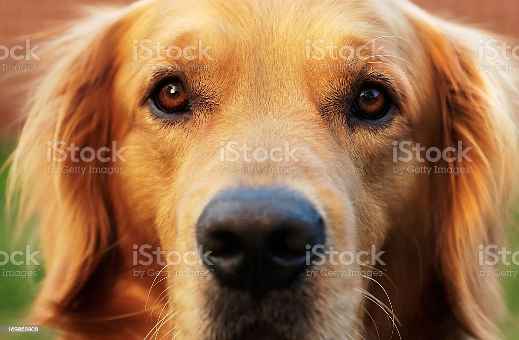 Close-up of a Dog Eyes and face stock photo