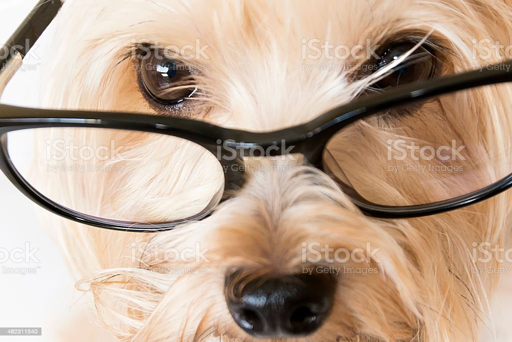 Closeup of a dog with glasses stock photo