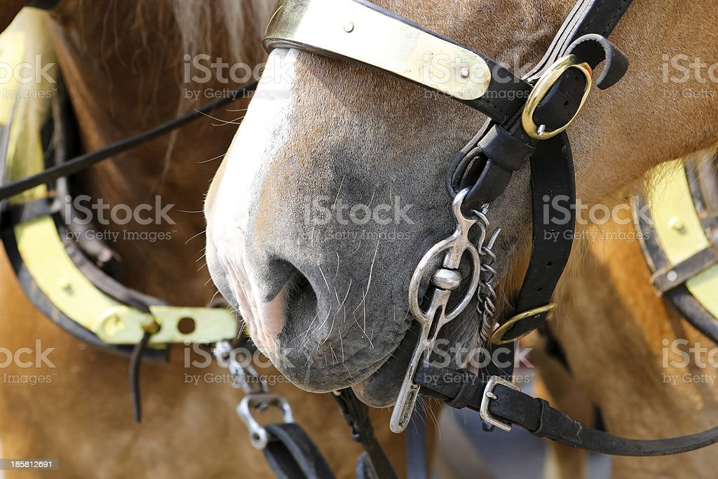Closeup Of A Draft Horses Mouth With The Bridle Bit Stock Photo Download Image Now Istock