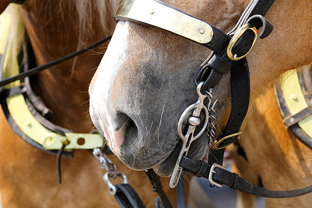 closeup of a draft horse's mouth with the bridle bit - horse bit stock photos and pictures