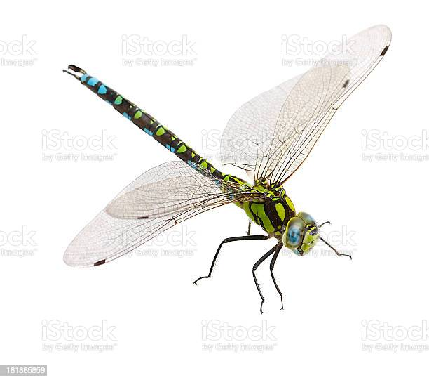 Closeup of a dragonfly isolated on a white background picture id161865859?b=1&k=6&m=161865859&s=612x612&h=flnsyj6desrqkqzsadtaijoxhwcfgoqvxpyvwrkjhqa=