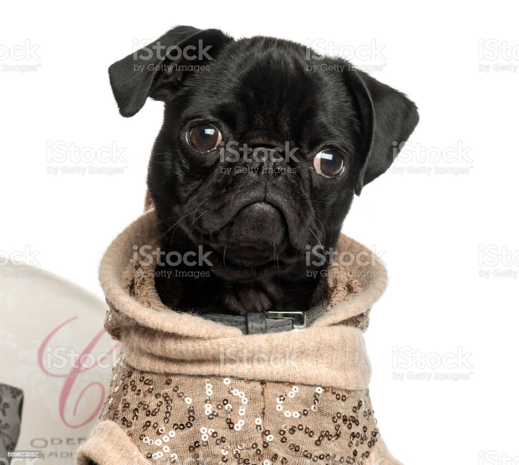 Close-up of a dressed up Pug puppy, 3 months old, isolated on white stock photo