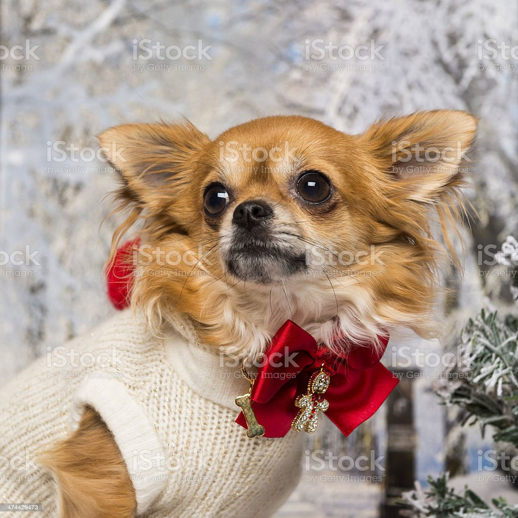 Close-up of a dressed-up Chihuahua in winter scenery stock photo