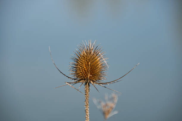 Close-up of a dried thistle stock photo