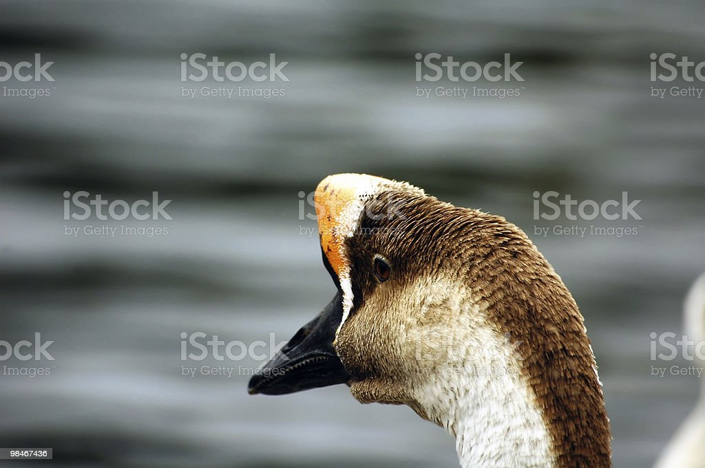 Close-up of a duck at Morlaix (Brittany, France) royalty-free stock photo