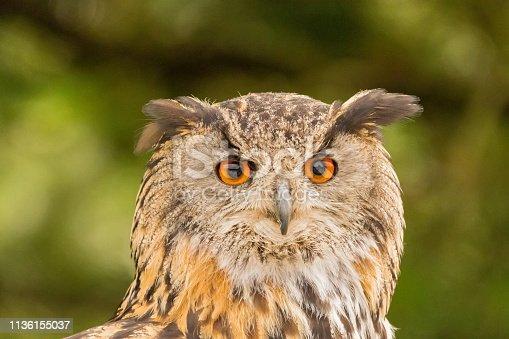 istock Closeup of a Eurasian Eagle-Owl (Bubo bubo) 1136155037