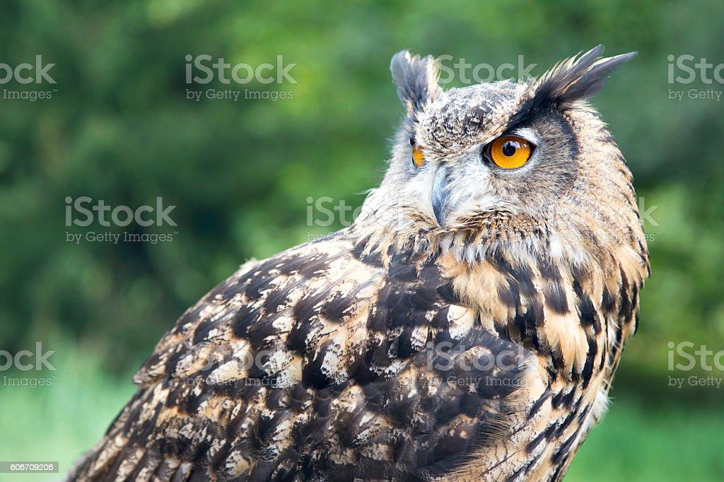 Closeup of a Eurasian eagle-owl (Bubo bubo). stock photo