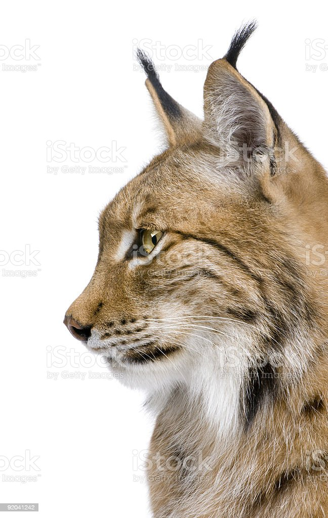 Close-up of a Eurasian Lynx's head (5 years old) stock photo