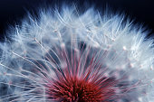 istock Close-up of a faded dandelion. Seeds of a dandelion in blue and red 1083862320