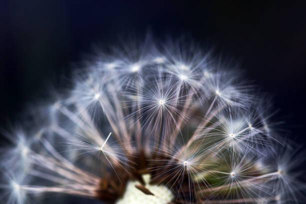 gros plan d'un pissenlit fané avec des graines de fleurs. gros plan d'un pissenlit avec des graines de fleurs. - filigrane ferronnerie photos et images de collection