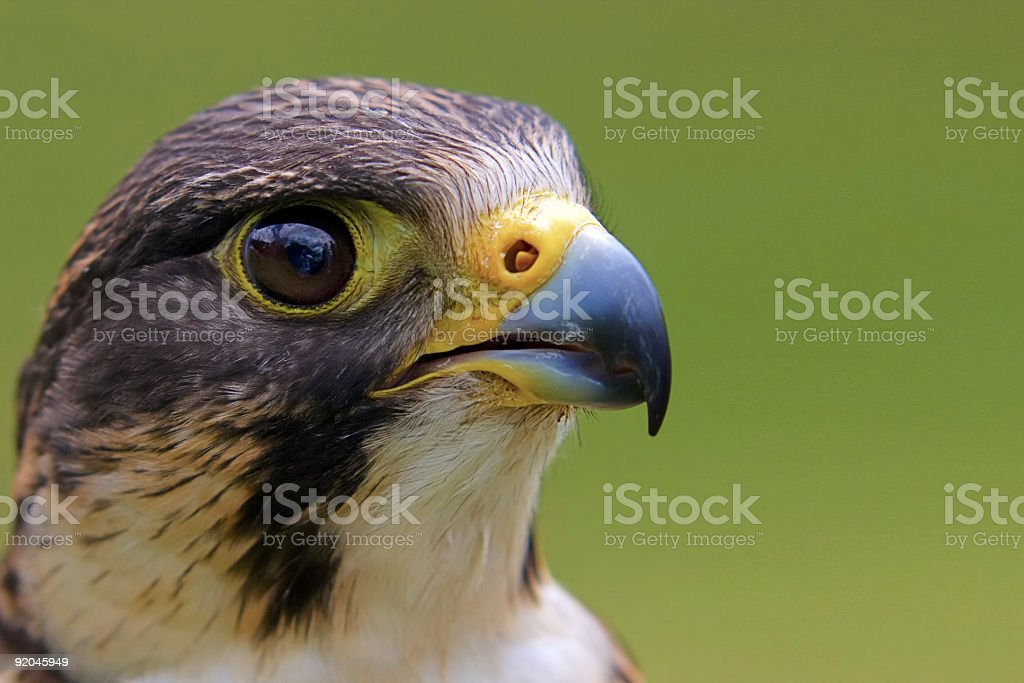 Close-up of a falcon's face on a green background stock photo
