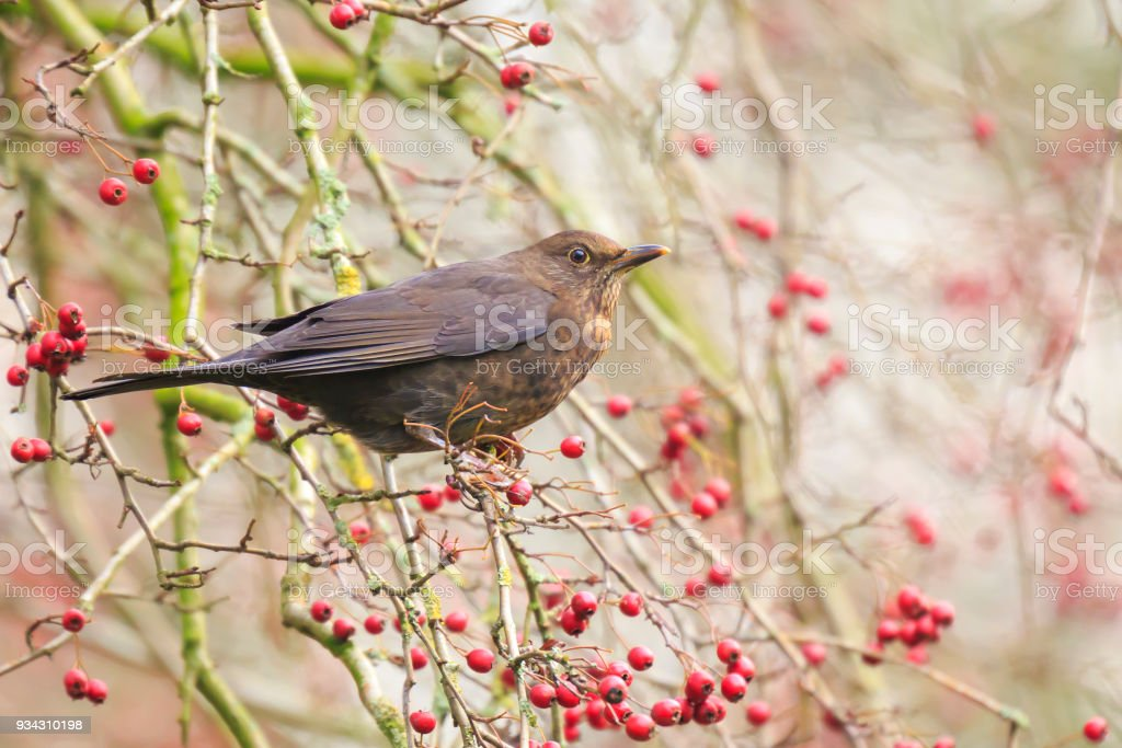 Close-up of a female common blackbird (Turdus merula) bird eating red berries facing sunlight stock photo