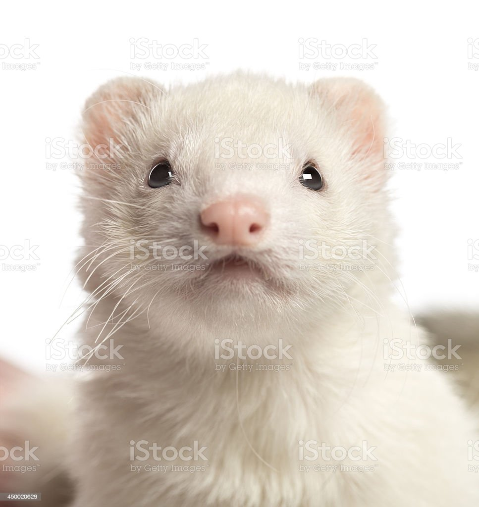 Close-up of a Ferret, 2 years old, isolated on white stock photo