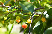 Close-up of a few cherries hanging from a branch with green leaves in the garden. Unripe cherries hanging on a branch