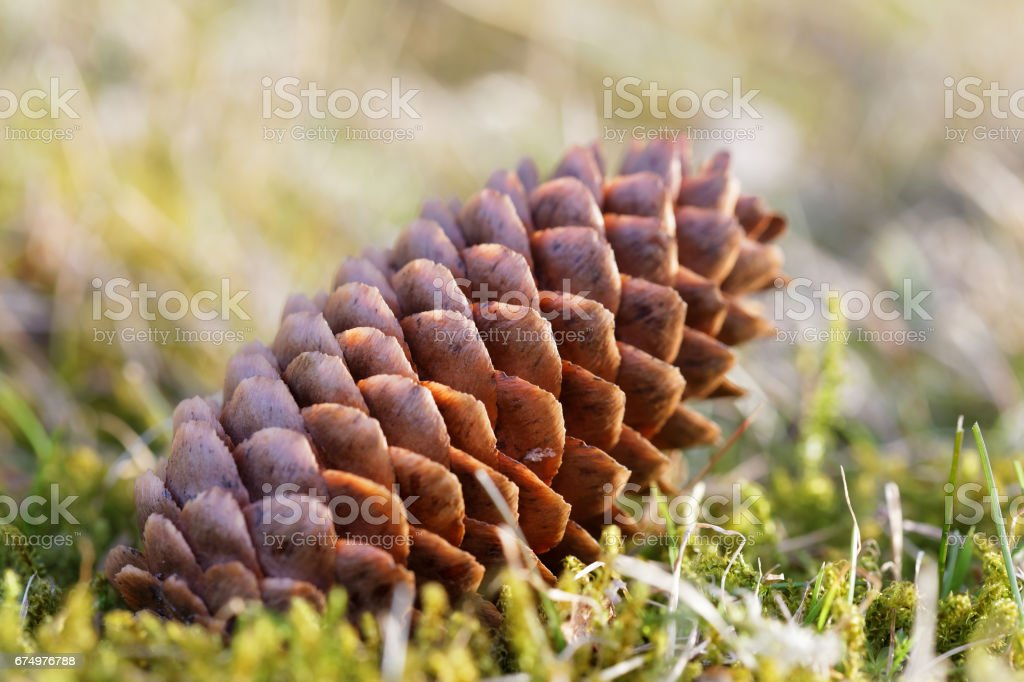 Closeup of a fir cone laying on the ground stock photo
