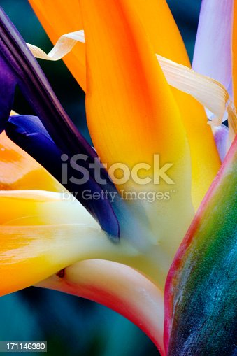 Bird of Paradise flower with distinctive shape and brilliant colours of its thick, fleshy bracts.