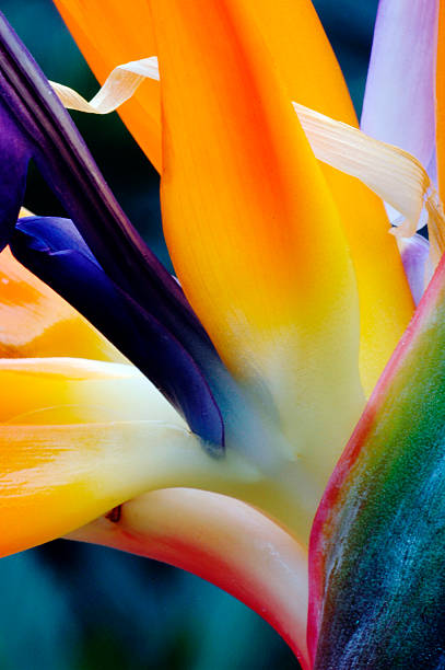A close-up of a flower of a bird of paradise stock photo
