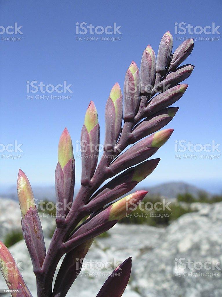 Nahaufnahme einer Blume auf den Tafelberg in Kapstadt – Foto