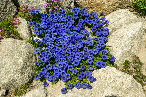 close-up of a flowering alpine plant of gentiana with large, trumpet-shaped blue flowers in a rocky garden in summer, courmayeur, aosta valley, italy - courmayeur estate foto e immagini stock