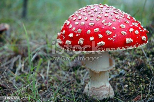 Amanita muscaria,a poisonous mushroom.