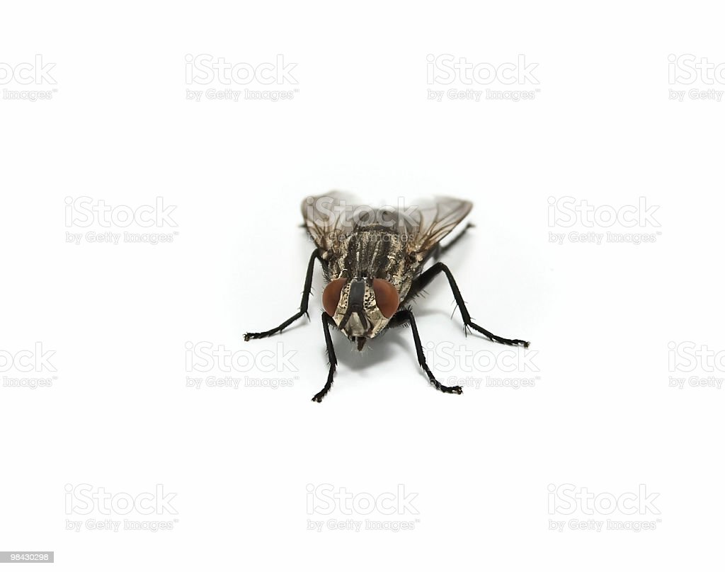 Close-up of a fly royalty-free stock photo