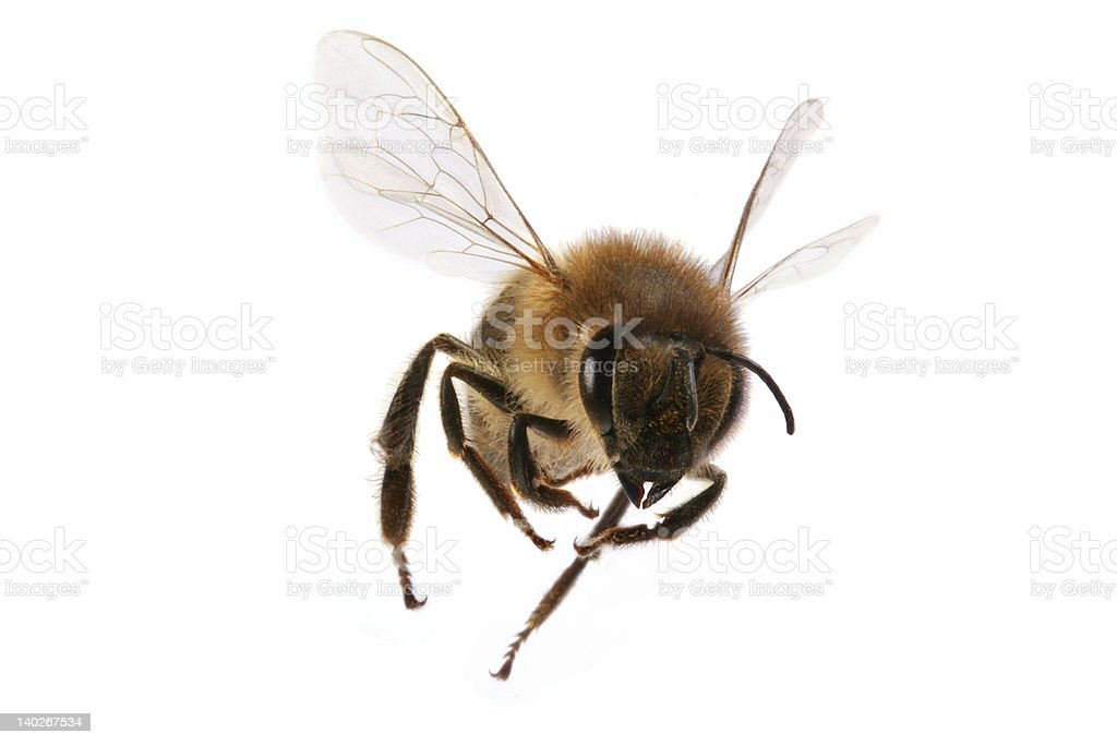 A close-up of a flying bee on a white background Close-up shot of a flying bee isolated on white background 2000-2009 Stock Photo