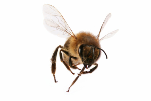 A Closeup Of A Flying Bee On A White Background Stock Photo - Download Image Now