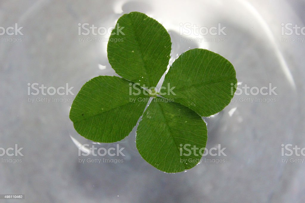 Close-up of a Four-Leaf Clover Floating in Water stock photo