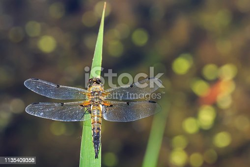 Close-up of a four-spotted chaser (Libellula quadrimaculata) or four-spotted skimmer dragonfly resting in sunlight on green reeds.