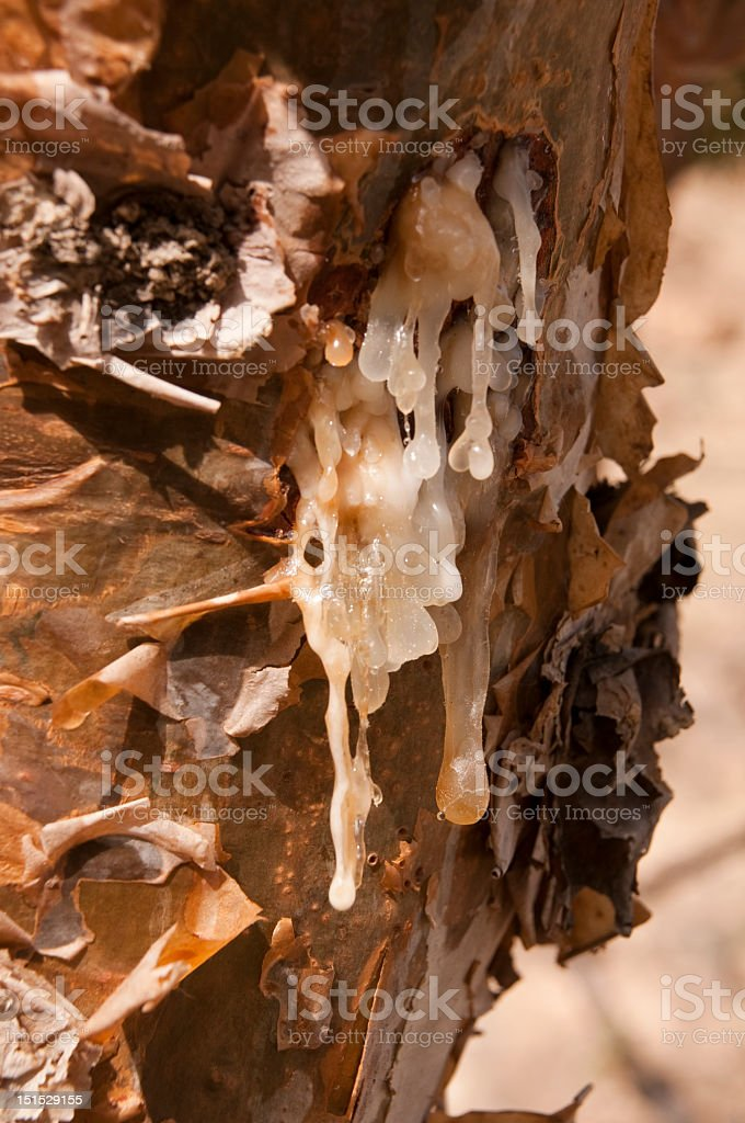 Close-up of a frankincense tree with white sap flowing stock photo