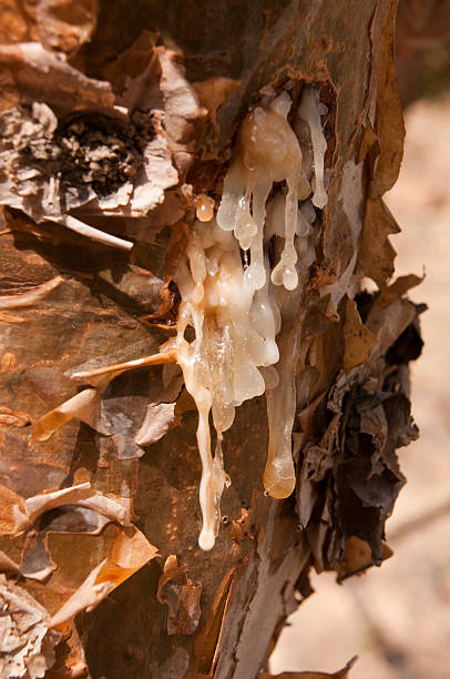 close-up of a frankincense tree with white sap flowing - mahroch stock pictures, royalty-free photos & images