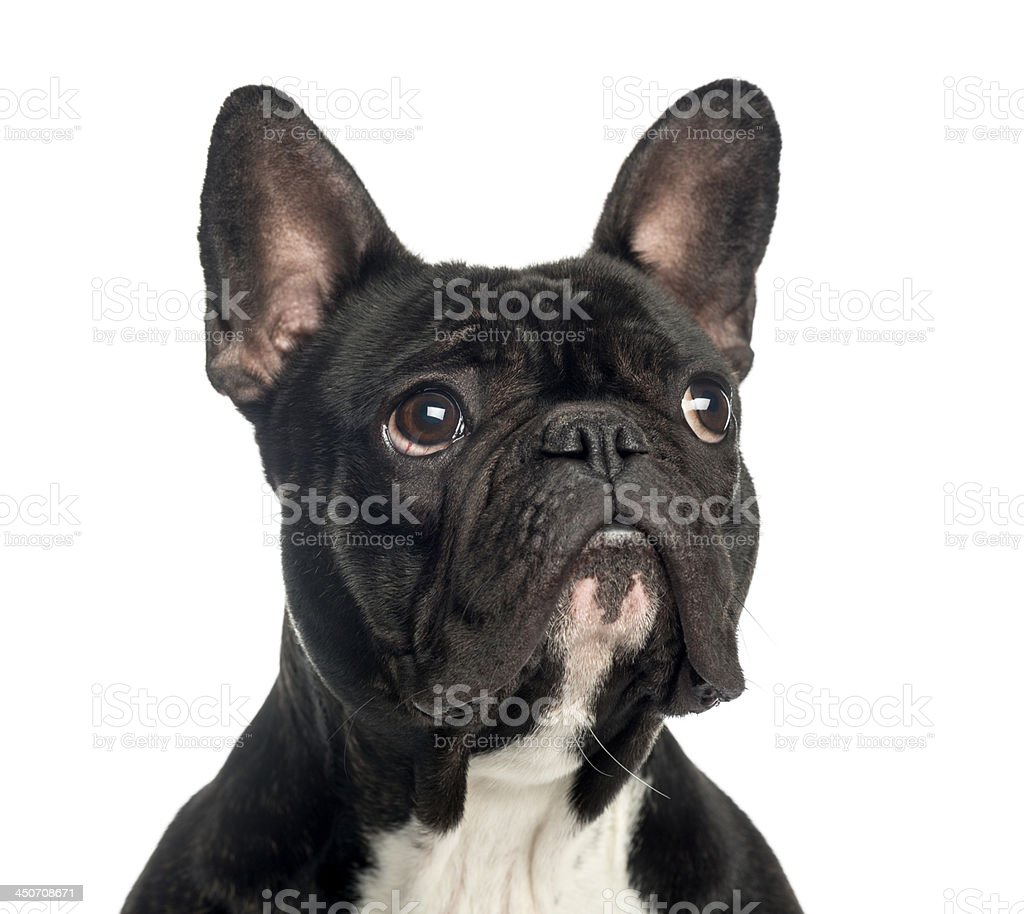 closeup of a french bulldog looking up 2 years old stock