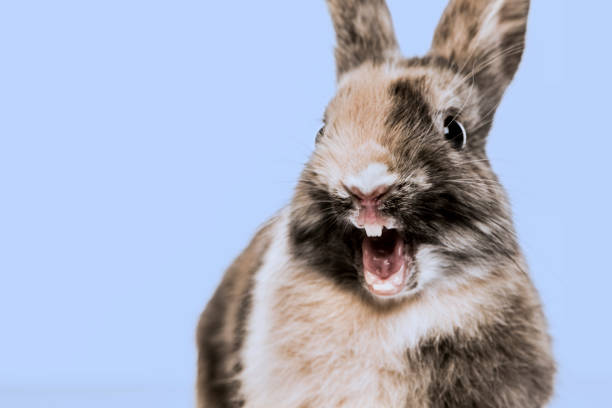 Close-up of a funny Rabbit against a blue background stock photo