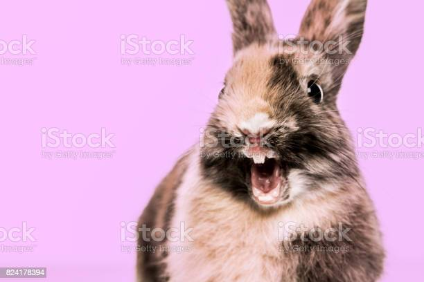 Closeup of a funny rabbit against a purple background picture id824178394?b=1&k=6&m=824178394&s=612x612&h=kveohbojbvl ooiaeribhcnzdt115vs0j8odyf6unha=