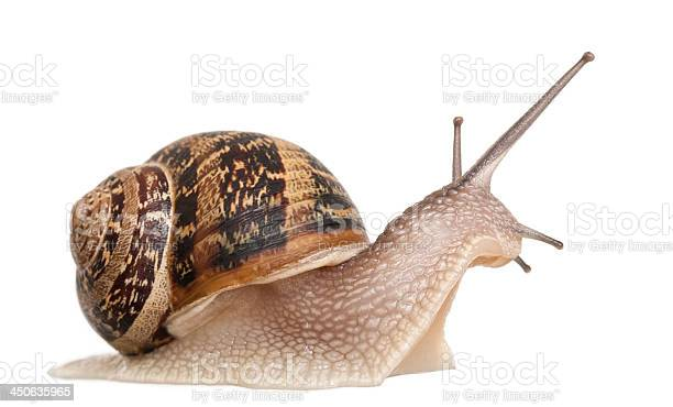 Closeup of a garden snail isolated on white picture id450635965?b=1&k=6&m=450635965&s=612x612&h=uoiprufnnm z3opafjn0glpkhdwuzzc4d3l7yubowsw=