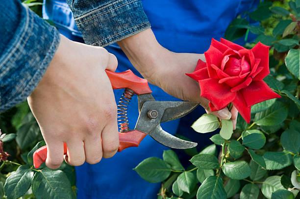 Closeup of a gardener cutting a red rose picture id119347582?b=1&k=6&m=119347582&s=612x612&w=0&h=xiup2kwacquq7laubjtg3drdsg3ujh3zkxvtryieso0=