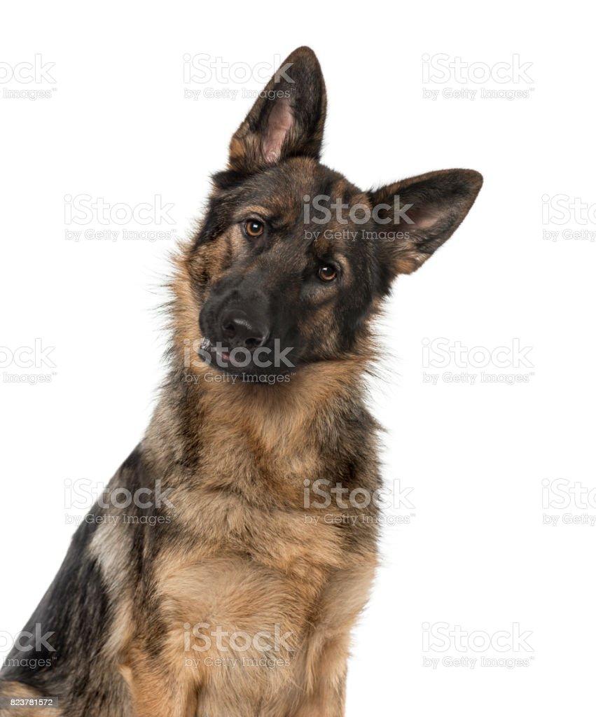 Gros plan d'un chien de berger allemand regarde fixement la caméra, 21 mois, isolé sur blanc - Photo