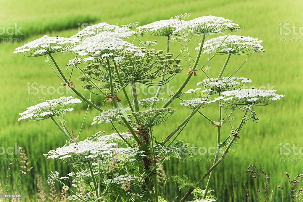 Close-up of a giant hogweed growing in a field of grass foto