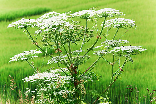 Close-up of a giant hogweed growing in a field of grass stock photo