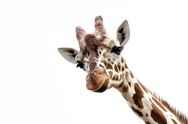 closeup of a giraffe isolated on a white background - girafe photos et images de collection