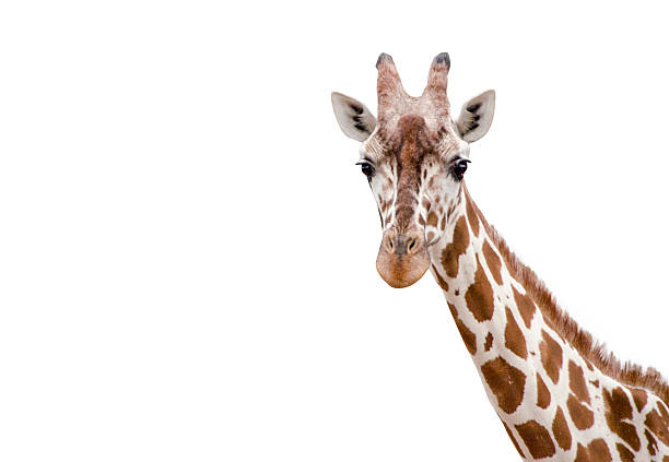 closeup of a giraffe on white background - giraffe stock photos and pictures