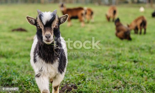 Close-up of a young Goat, with a leave of grass in its mouth. Winter shot from the Flemish Ardennes, in the Southern Region of East-Flanders, Belgium