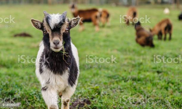 Closeup of a goat carrying a leaf of grass picture id918599922?b=1&k=6&m=918599922&s=612x612&h=zhix 6c2wn2qqpuz6idqdnstrtezynxxmk3fibtksdm=