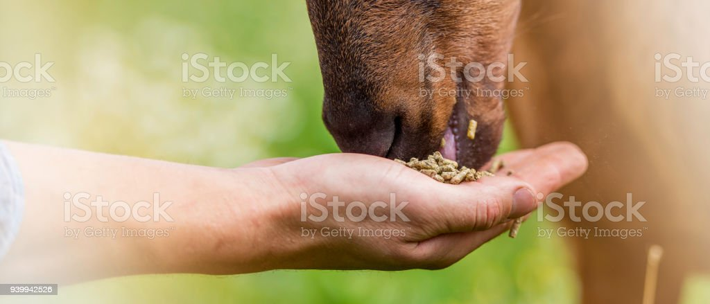 Close-up of a goat eating from a human's hand stock photo