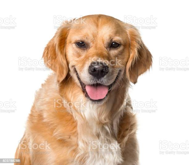 Closeup of a golden retriever panting isolated on white picture id823788288?b=1&k=6&m=823788288&s=612x612&h=ovlnseuhhwum7j0zuoqfcagkbnr 1ohnssjqu2wrwaw=